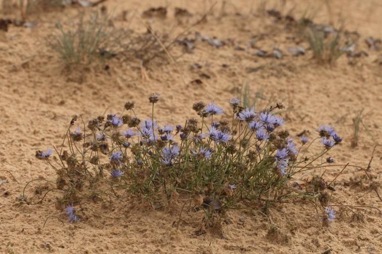 Zandblauwtje in het Kootwjkerzand