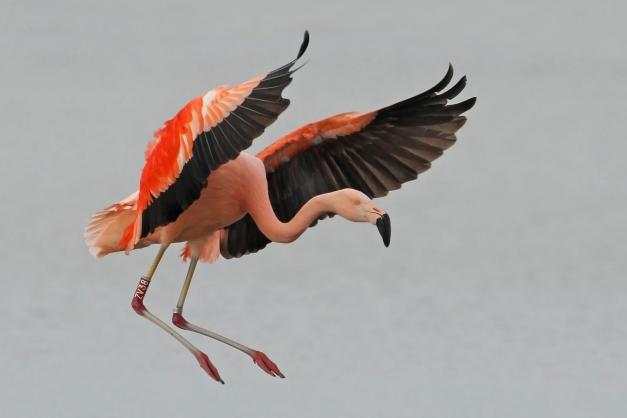 Flamingo, Nijkerk 2013