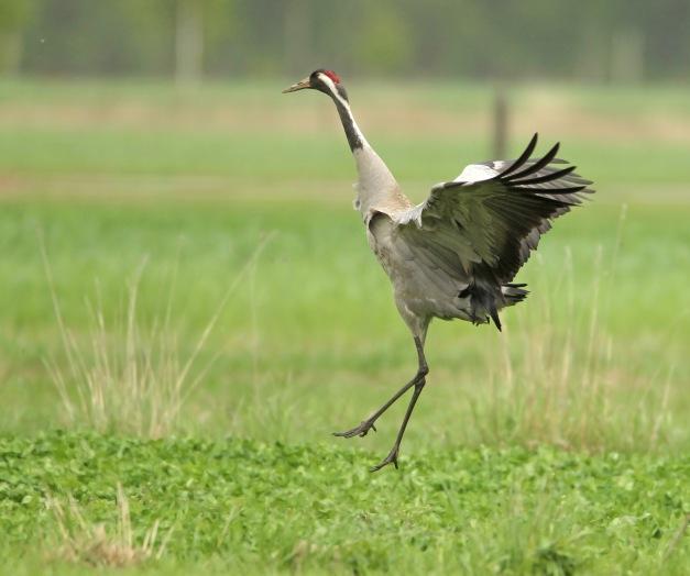 Dansende kraanvogel