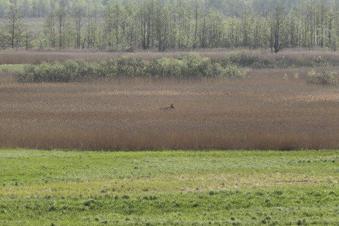 Eland in het landschap