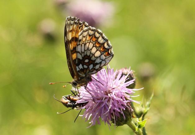 bosparelmoervlinder