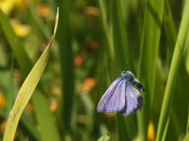 afwijkend icarusblauwtje