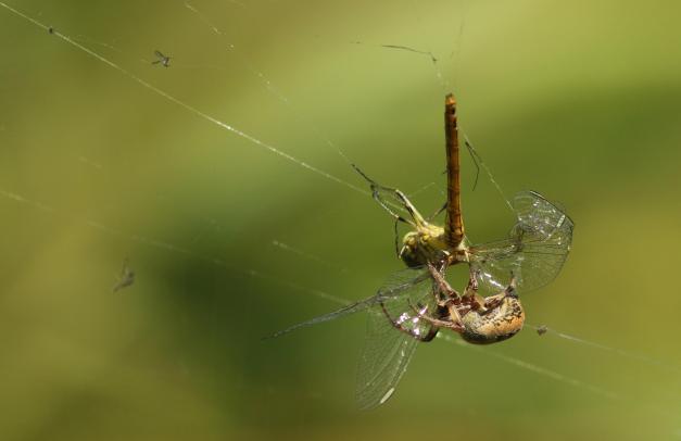 heidelibel, gevangen in het web van een wielwebspin