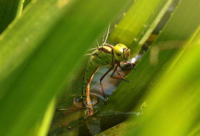 eileggend vrouwtje groene glazenmaker