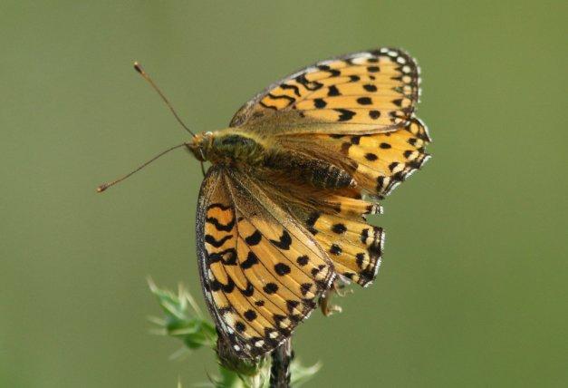 grote parelmoervlinder