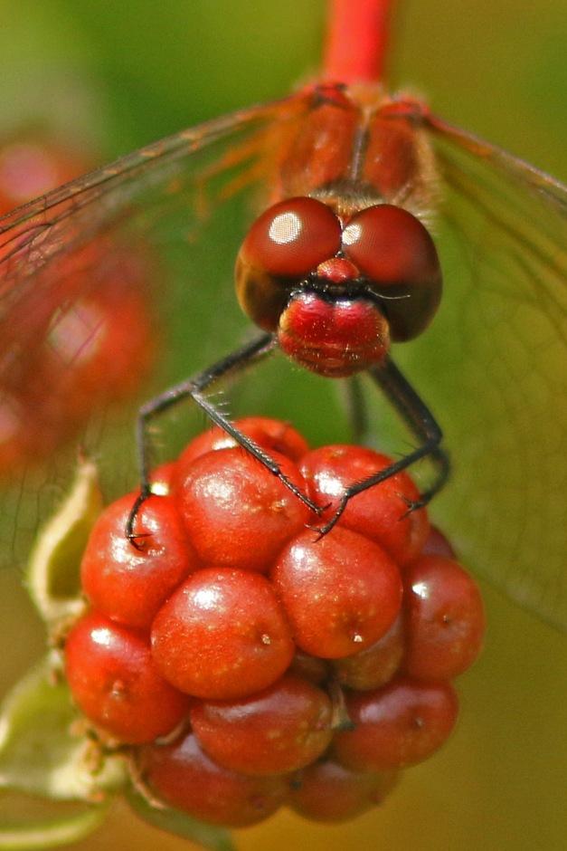bloedrode heidelibel op braam