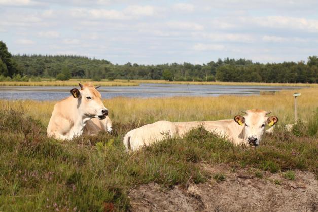 Piemontese koeien