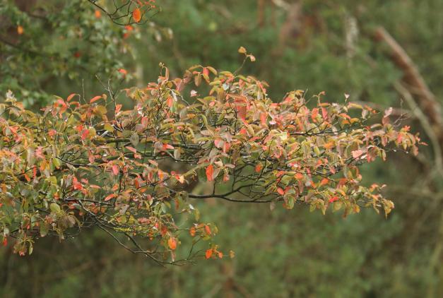 krentenboompje