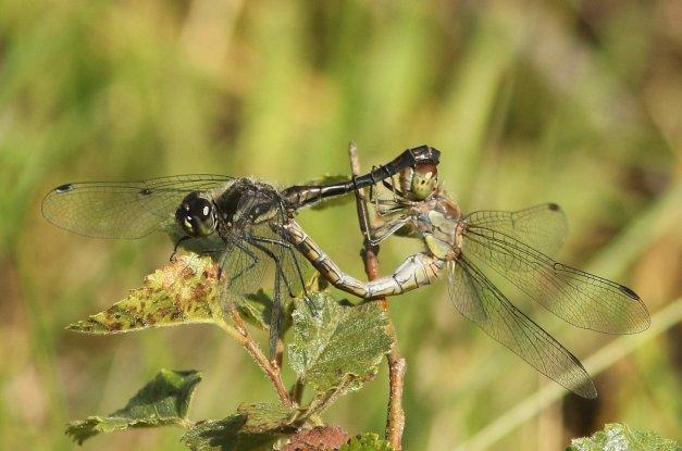 mengtandem van man zwarte en vrouw bruinrode heidelibel
