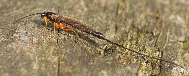 Het sluipwespvrouwtje tast met haar voelsprieten de boomstam af en zoekt zo op geur naar larven.