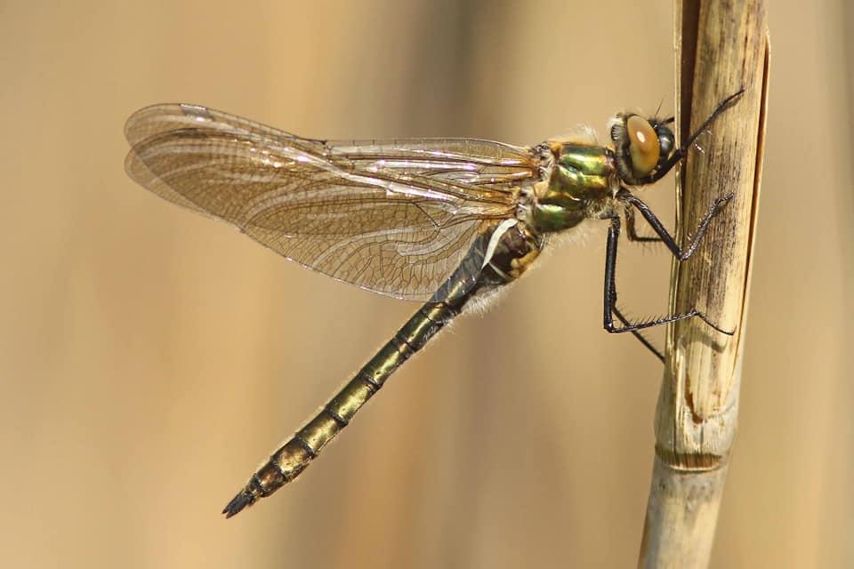 smaragdlibel2